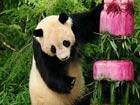 Giant panda Taishan celebrates his 4th birthday in US