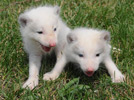 Snow Fox cub duo debuts in Harbin