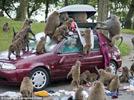 Safari park baboons ransack cars