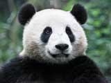 Cute pandas enjoy life in Sichuan