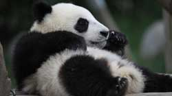 Cute pandas enjoy life in Sichuan