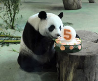 Panda Yuanyuan celebrates her birthday in Taiwan