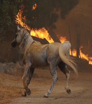 A horse runs from the flames as fire burns around it during the Station Fire in the Big Tujunga area of Los Angeles, California August 29,2009.