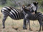 Training zebras as racing horse