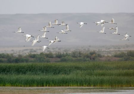 Egrets fly over the Heihe wetland of Gaotai County in Zhangye City, northwest China's Gansu Province, Sept. 7, 2009. The birds Population there has increased thanks to the efforts that have been made to protect the environment of the wetland in the city.