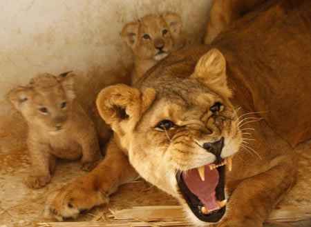 Tamara the lioness roars at visitors in front of her cubs in their enclosure at Jordan's Zoo near Amman September 7, 2009. Tamara's cubs are a month old.