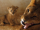 Lioness, one-month-old cubs at Jordan's zoo