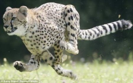 Speedy: Sarah the cheetah is officially the fastest mammal on land after