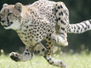 Sarah the cheetah, the world's quickest cat