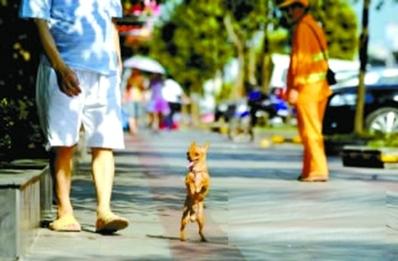 This dog walks like a kangaroo ... on two legs