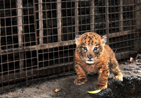 Photo taken on Sept. 27, 2009 shows a tigon at Hainan Tropical Wildlife Park and Botanical Garden in Haikou, capital of south China's Hainan Province. A male Manchurian tiger and a female African lion gave birth to twin tigons here on Sept. 1, 2009. [Guo Cheng/Xinhua]