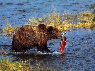 Brown Bear fishing salmons in Katmai National Park, Alaska. [Photo by Luo Hong]