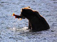 Brown Bear fishing salmons in Katmai National Park, Alaska.[Photo by Luo Hong]