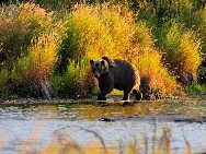 Brown bears,also known as grizzlies, occur throughout Alaska except on islands south of Frederick Sound in southeast Alaska. Katmai National Park has the world's highest concentration of brown bears.[Photo by Luo Hong]