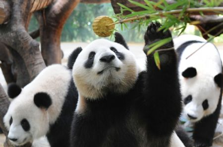 A giant panda takes a mooncake at the Xiangjiang Safari Park in Guangzhou, capital of south China's Guangdong Province, on Oct. 3, 2009. Workers at the park prepared bamboo powder mooncakes for giant pandas to let them enjoy Chinese traditional Mid-Autumn Festival on Saturday. (Xinhua/Lu Hanxin)