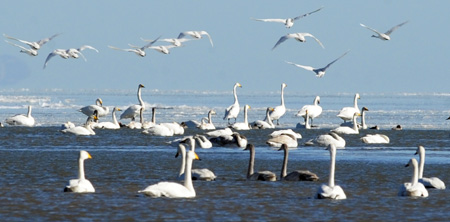 Swans fly over and rest on Qinghai Lake, China's northwest Qinghai Province, Dec. 5, 2009. (Xinhua/Hou Deqiang)