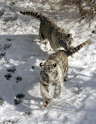 3d white tiger wallpaper