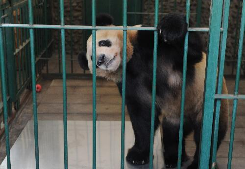 Japanese-born giant panda 'Xingbang' is seen in the quarantine room at the Chengdu Giant Panda Breeding Base in Chengdu, capital of southwest China's Sichuan Province, March 16, 2010.[Xinhua]