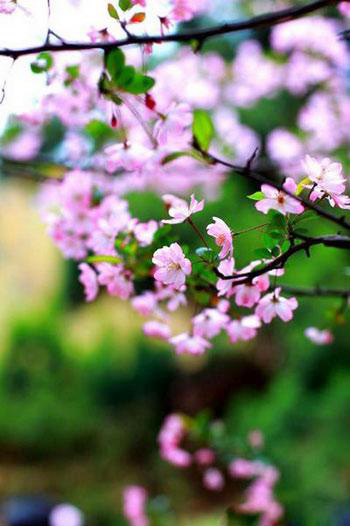 Cherry trees are in full bloom in Wuhan