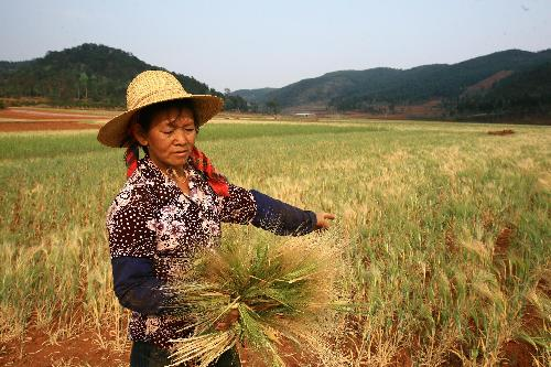 A farmer demonstrates the dry wheat at Hetaoyuan village of Shiping County, southwest China's Yunnan Province, March 24, 2010. The sustaining severe drought ravaged this region since last October and made no harvest of crops. [Xinhua]