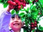 Fruit picking in Beijing suburbs
