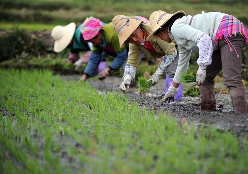 Villagers work in the field in Xizhou Town, in Dali City of Yunnan Province, on April 28, 2010. The severe drought in southwest China has broken after six falls of rain in the past month.