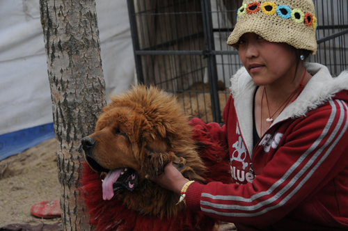 A girl looks after a Tibetan mastiff at her home in Yushu, Northwest China's Qinghai province, May 5, 2010. About 2,000 Tibetan mastiffs died in the deadly April 14 earthquake, which also caused a lack of food and vaccine supply for the majestic animal, Xinhua reported.