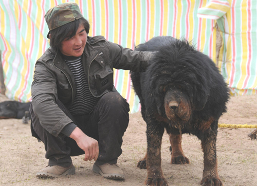 A man looks after a Tibetan mastiff at his home in Yushu, Northwest China's Qinghai province, May 5, 2010. About 2,000 Tibetan mastiffs died in the deadly April 14 earthquake, which also caused a lack of food and vaccine supply for the majestic animal, Xinhua reported.