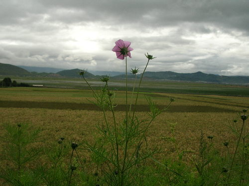 A cosmos flower growing overlooking fields of highland barley at Hamugu Village, Shangri-la. [Mark Frank/China.org.cn]