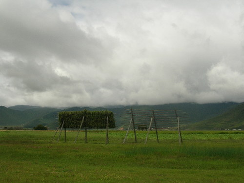 Highland barley (qingke) drying on racks near Napa Hai. [Mark Frank/China.org.cn]