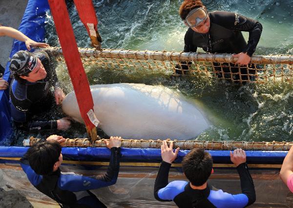 Hangzhou Polar Ocean Park : carry a beluga from Russia in Hangzhou Polar Ocean Park, Hangzhou ...