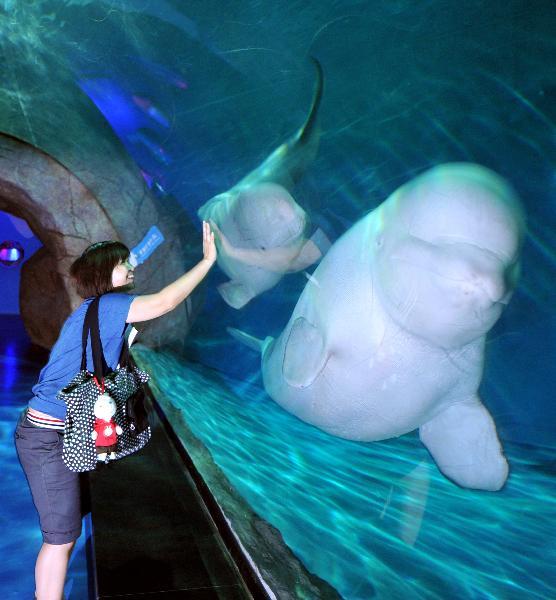 two beluga whales from Russia in Hangzhou Polar Ocean Park, Hangzhou ...