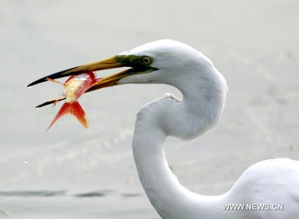 An egret catches fish at the Olympic park in Beijing, capital of China, June 28, 2010. [Xinhua/Wang Xibao]
