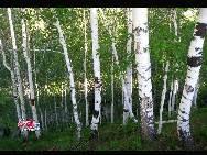 Silver birch forest [Photo by Li Shen]