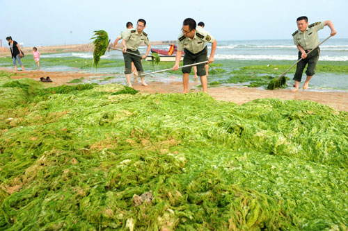 Police officers from Huangdao frontier guard bridgade clean green algae along the beach in Qingdao, east China's Shandong province, June 27, 2010. As large amounts of the algae are washing ashore, the city implemented a series of plans to prevent plague triggered by the algae. [Xinhua]