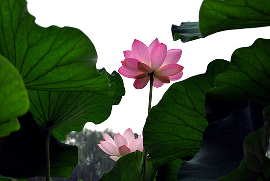 A Feast of Lotus Flowers at Yuanmingyuan