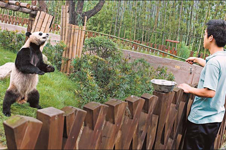 Yang Gangkun, a 24-year-old professional panda keeper, feeds apples to a panda on June 10 at the Panda Base in Chengdu, capital of Sichuan province. [AFP]