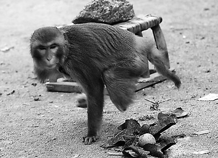 The one-armed monkey. [File photo]