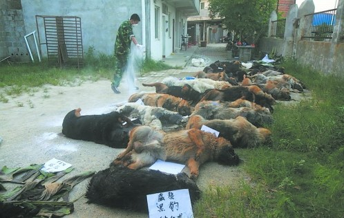 In the last two days, 29 of 31 police dogs died from taking vermifuge Niclofolan tablets in a station in Liuzhou, Guangxi.