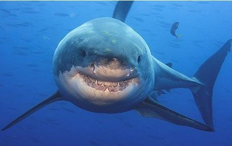 File photo: a great white shark.