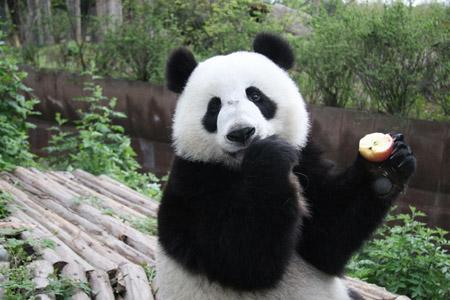 Giant panda still endangered despite baby boom - China.org.cn