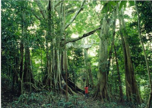 The banyan tree in the tropical rainforest in the Xishuangbanna, Yunnan Province.