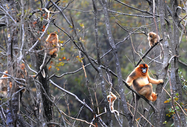 In the spring of 2010, a cold air mass destroyed the food source of golden monkeys living in the Qinling Mountains, and some of them were found stealing corn from the village.