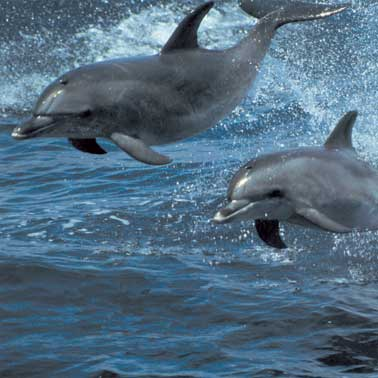Dolphins [File photo]