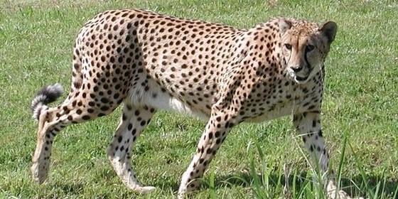 Top 10 fastest animals on land