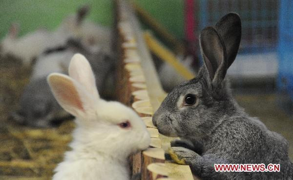 Photo taken on Jan. 13, 2011 shows rabbits at the provincial museum in Harbin, capital of northeast China's Heilongjiang Province. A rabbit exhibition was held at the museum on Thursday to greet the traditional Chinese lunar year of Rabbit.