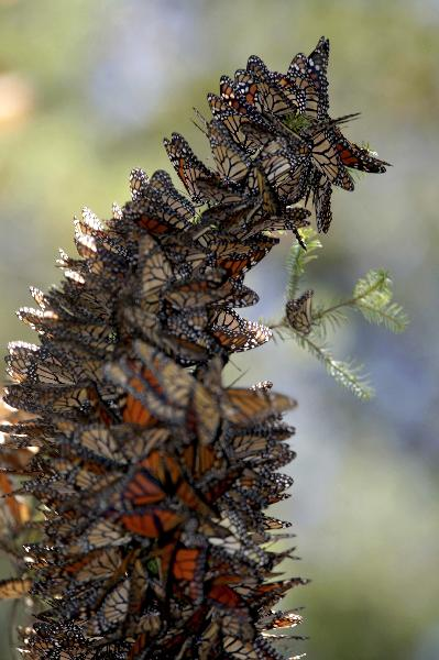 Spectacular migration of Monarch butterflies - China.org.cn