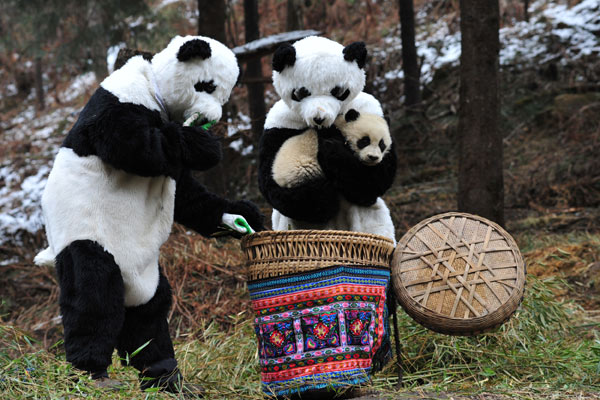 Two disguised employees with Wolong Nature Reserve in Sichuan put giant panda cub Cao Gen into a basket on Sunday morning before transferring him to a new habitat as part of a program to train the bears to fend for themselves. They dressed up as giant pandas to minimize the impact of human intervention. [China Daily]