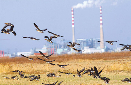 Wintering bean geese gather on a reed field near Yancheng National Nature Reserve in Jiangsu province. [China Daily]