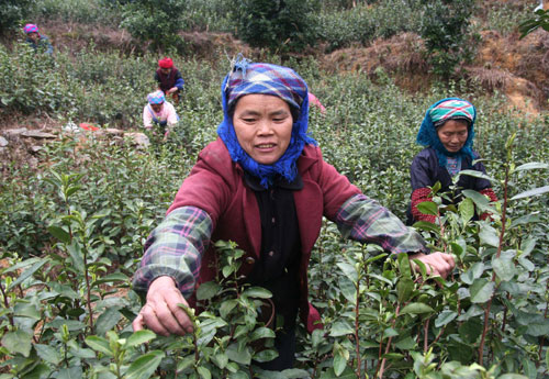 Women pick tealeaves at the Rongshui Miao autonomous county in the Guangxi Zhuang autonomous region on Friday.